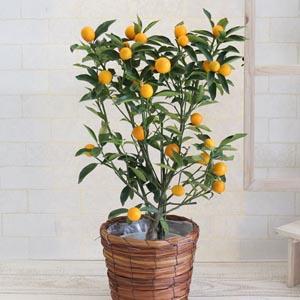 鉢植え「おうち果樹園 金柑」