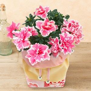 鉢植え「八重咲きアザレア 和柄巾着入り」