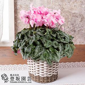鉢植え「フレグランスシクラメン ファルバラローズ」