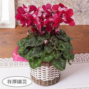 鉢植え「プロペラ咲きシクラメン クラシカルドレス」