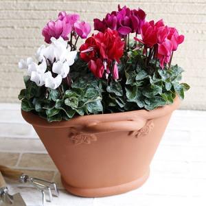 寄せ植え「冬の香り ガーデンシクラメン」