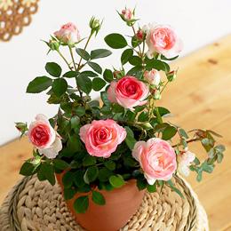 バラ鉢植え「ホワイトピーチオベーション」