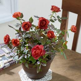 バラ鉢植え「コーヒーオベーション」