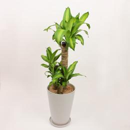 観葉植物「ドラセナ・マッサンゲアナ」7号