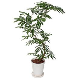 観葉植物「エバーフレッシュ」7号