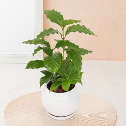 観葉植物「コーヒーの木」