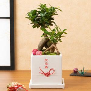 鉢植え「賀寿丸」