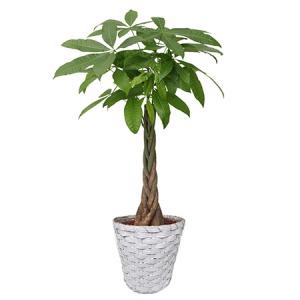 観葉植物「パキラ8号 バスケット」