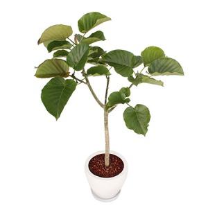 観葉植物「ウンベラータ8号 陶器鉢」