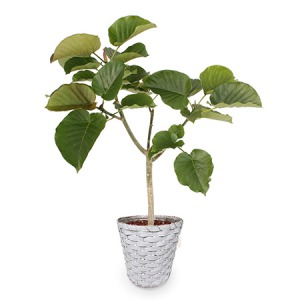観葉植物「ウンベラータ8号 バスケット」