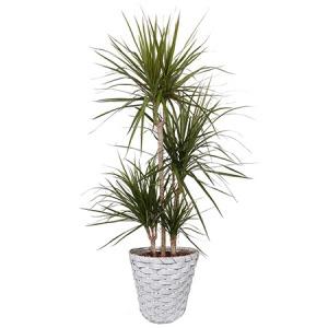 観葉植物「ドラセナ・コンシンネ8号 バスケット」