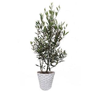 観葉植物「オリーブ8号 バスケット」