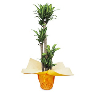 観葉植物「ドラセナ・マッサンゲアナ10号 ラッピング」