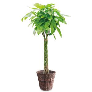 観葉植物「パキラ10号 バスケット」