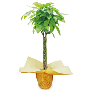 観葉植物「パキラ10号 ラッピング」