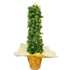 観葉植物「ポトス10号 ラッピング」