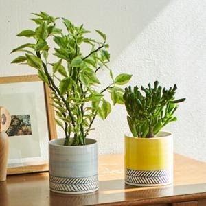 観葉植物「ゴーラム&ペディランサス」