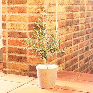 鉢植え「オリーブ」