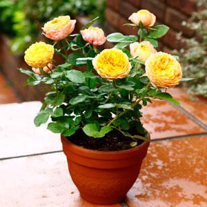 鉢植え「ミニバラ ベビーロマンティカ」