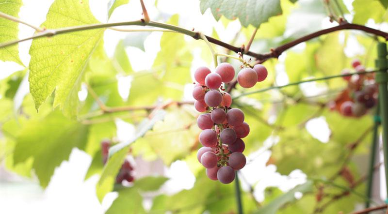 果樹の鉢植え