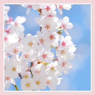 桜(サクラ)の花言葉は?桜はい...